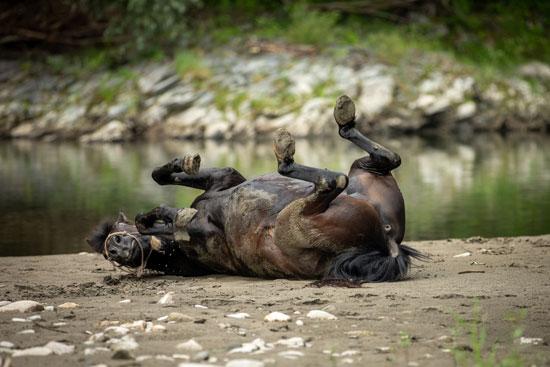 Schwarzes Pferd wälzt sich genüsslich am Flußstrand, fotografiert beim Spezialworkshop Pferde.